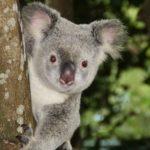 東山動植物園にはコアラがいます